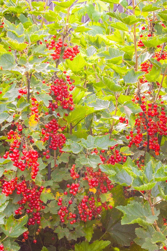 Red Currant in our backyard